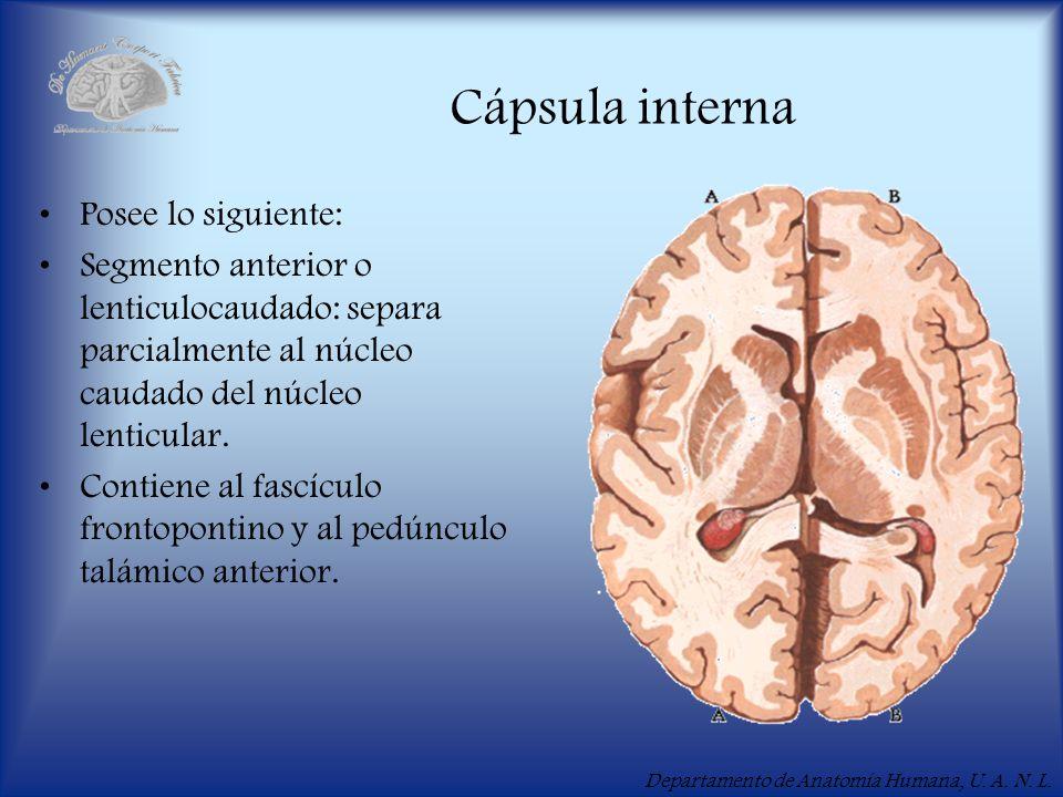 Departamento de Anatomía Humana, U. A. N. L. Cápsula interna Posee lo siguiente: Segmento anterior o lenticulocaudado: separa parcialmente al núcleo c