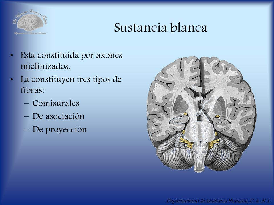 Departamento de Anatomía Humana, U. A. N. L. Sustancia blanca Esta constituida por axones mielinizados. La constituyen tres tipos de fibras: –Comisura
