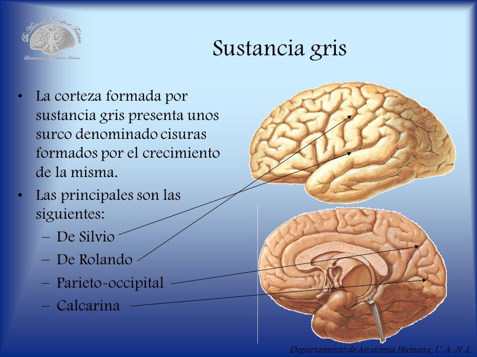 Departamento de Anatomía Humana, U. A. N. L. Sustancia gris La corteza formada por sustancia gris presenta unos surco denominado cisuras formados por