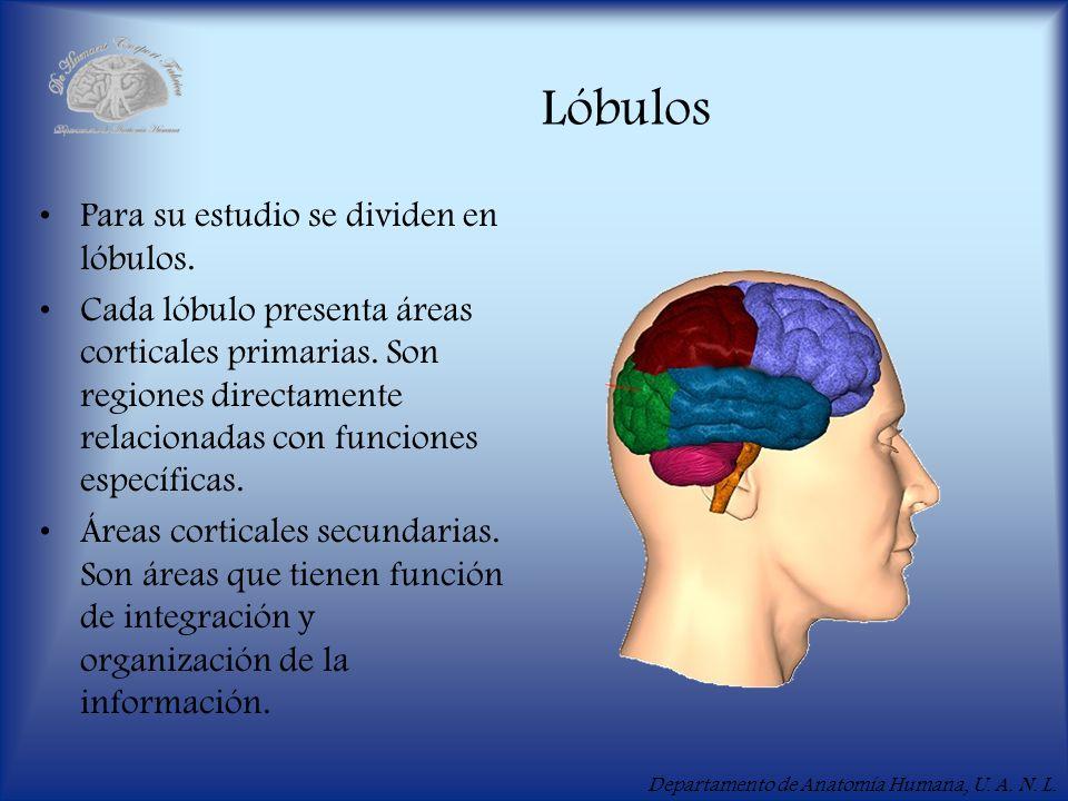 Departamento de Anatomía Humana, U. A. N. L. Lóbulos Para su estudio se dividen en lóbulos. Cada lóbulo presenta áreas corticales primarias. Son regio
