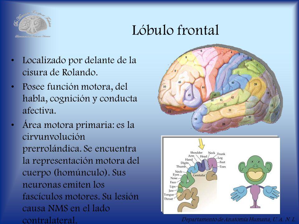 Departamento de Anatomía Humana, U. A. N. L. Lóbulo frontal Localizado por delante de la cisura de Rolando. Posee función motora, del habla, cognición