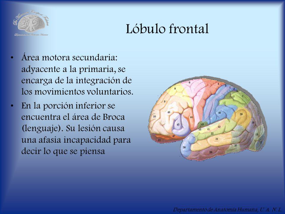 Departamento de Anatomía Humana, U. A. N. L. Lóbulo frontal Área motora secundaria: adyacente a la primaria, se encarga de la integración de los movim