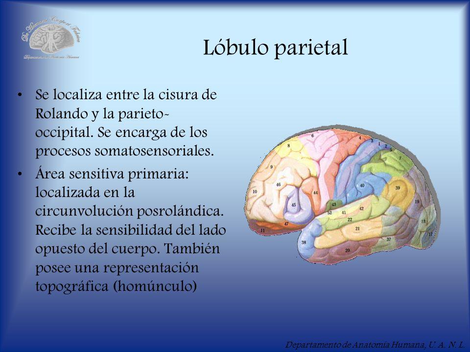 Departamento de Anatomía Humana, U. A. N. L. Lóbulo parietal Se localiza entre la cisura de Rolando y la parieto- occipital. Se encarga de los proceso
