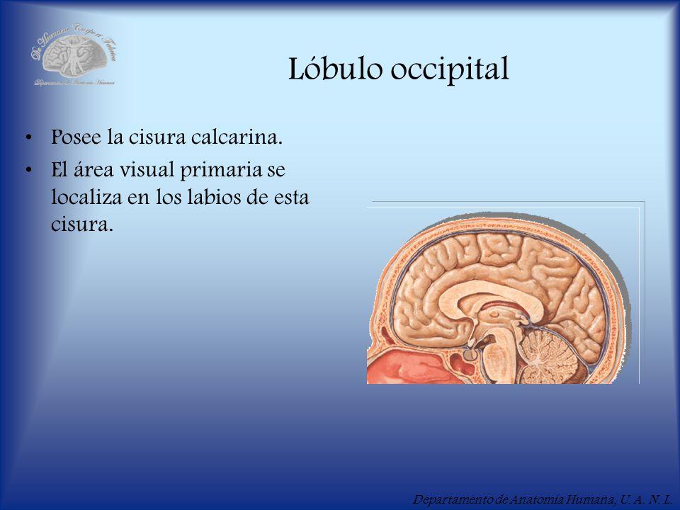 Departamento de Anatomía Humana, U. A. N. L. Lóbulo occipital Posee la cisura calcarina. El área visual primaria se localiza en los labios de esta cis