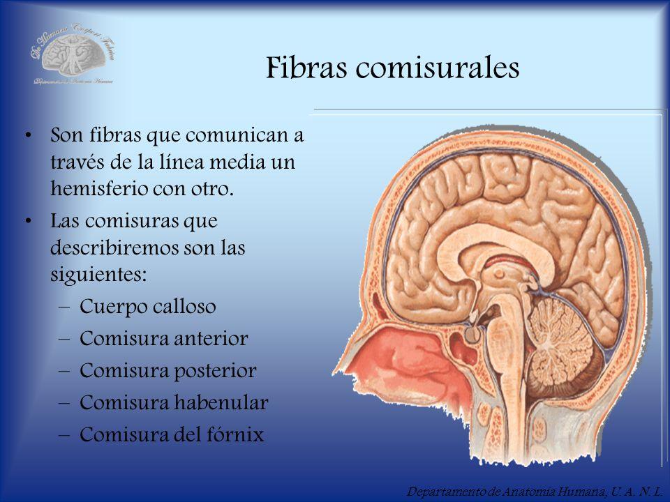 Departamento de Anatomía Humana, U.A. N. L. Cuerpo calloso Es la comisura más grande del cerebro.