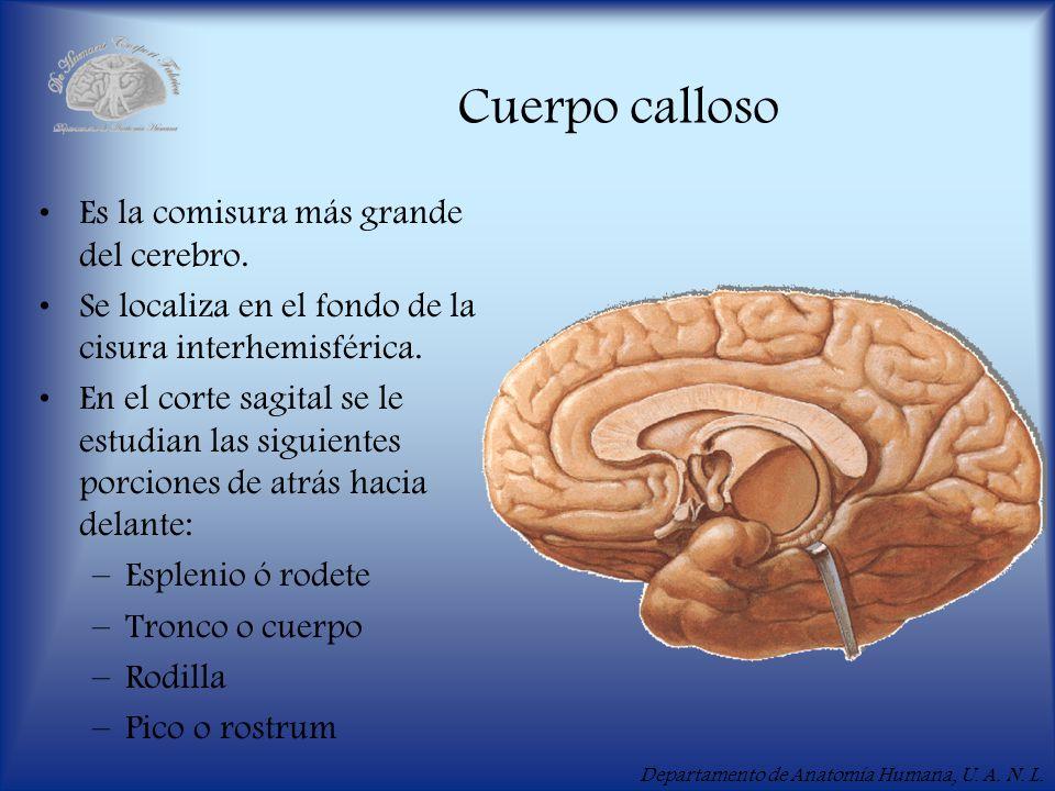 Departamento de Anatomía Humana, U. A. N. L. Cuerpo calloso Es la comisura más grande del cerebro. Se localiza en el fondo de la cisura interhemisféri