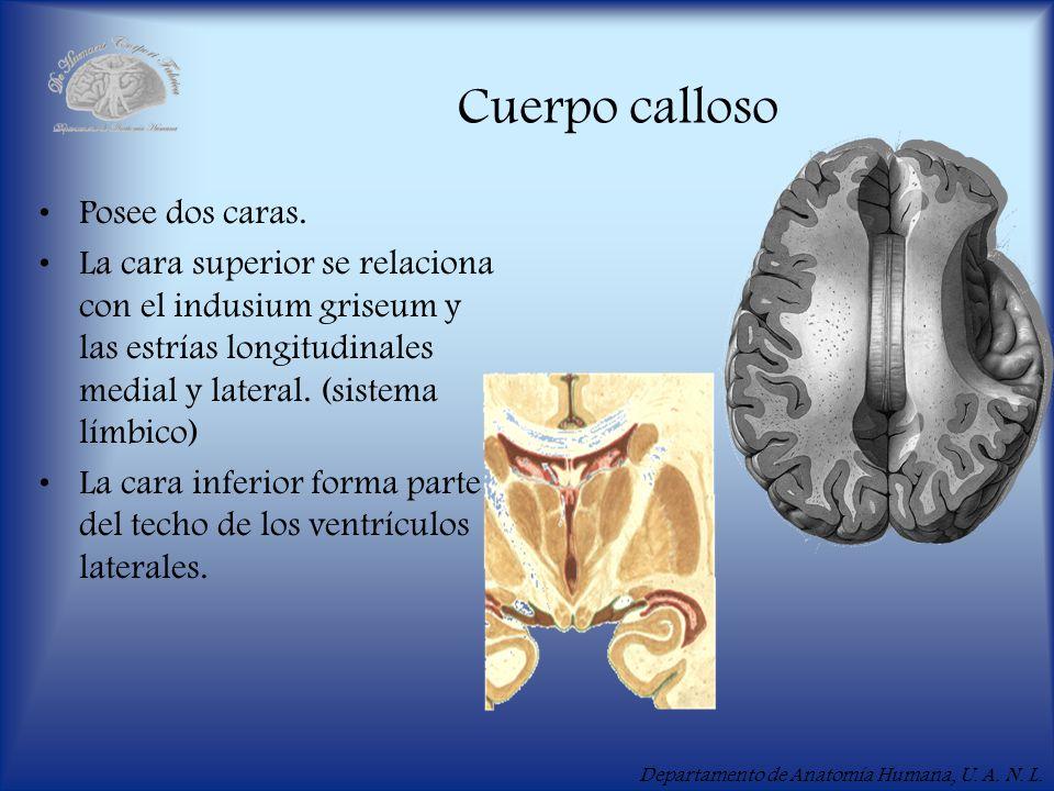Departamento de Anatomía Humana, U. A. N. L. Cuerpo calloso Posee dos caras. La cara superior se relaciona con el indusium griseum y las estrías longi