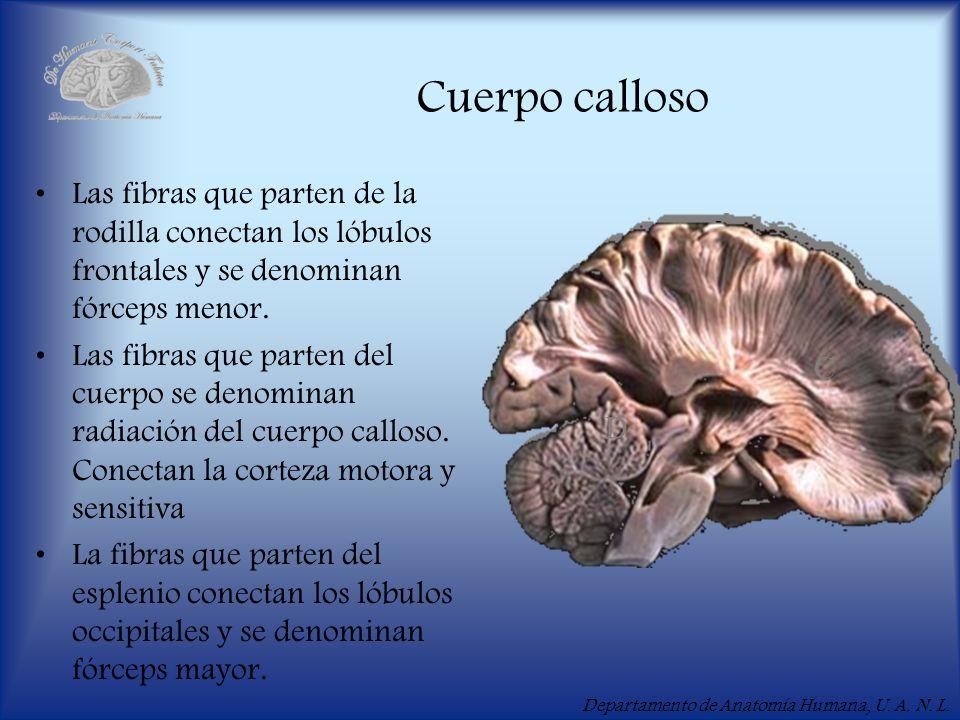 Departamento de Anatomía Humana, U. A. N. L. Cuerpo calloso Las fibras que parten de la rodilla conectan los lóbulos frontales y se denominan fórceps