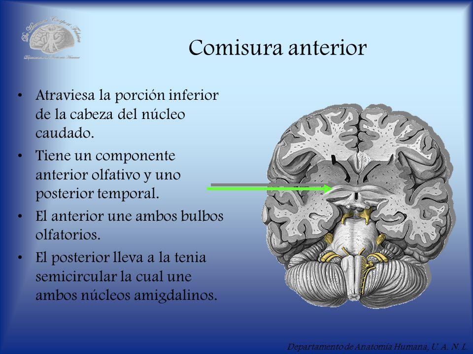 Departamento de Anatomía Humana, U. A. N. L. Comisura anterior Atraviesa la porción inferior de la cabeza del núcleo caudado. Tiene un componente ante