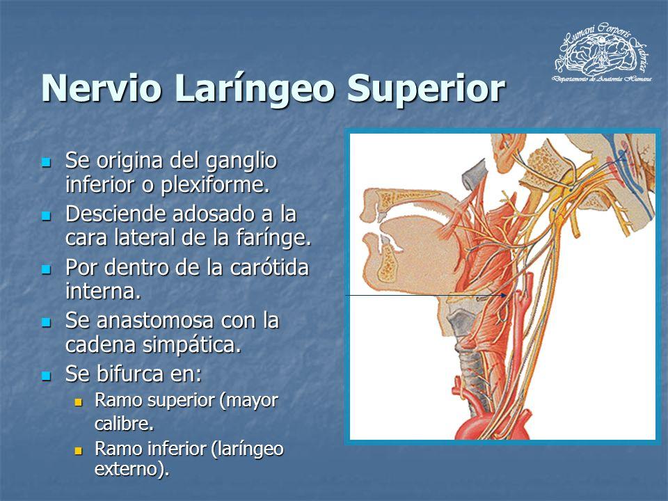 Nervio Laríngeo Superior Se origina del ganglio inferior o plexiforme. Se origina del ganglio inferior o plexiforme. Desciende adosado a la cara later