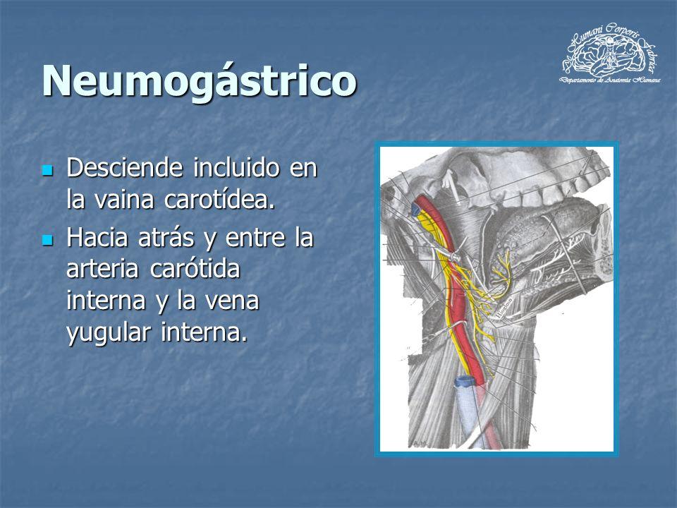 Neumogástrico Desciende incluido en la vaina carotídea. Desciende incluido en la vaina carotídea. Hacia atrás y entre la arteria carótida interna y la