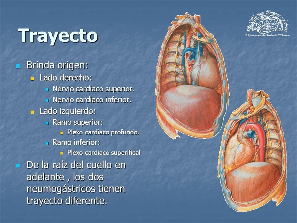 Trayecto Brinda origen: Brinda origen: Lado derecho: Lado derecho: Nervio cardiaco superior. Nervio cardiaco superior. Nervio cardiaco inferior. Nervi