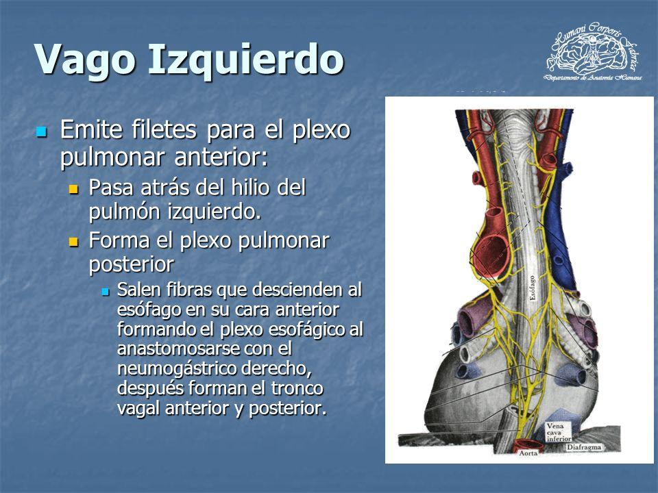 Vago Izquierdo Emite filetes para el plexo pulmonar anterior: Emite filetes para el plexo pulmonar anterior: Pasa atrás del hilio del pulmón izquierdo