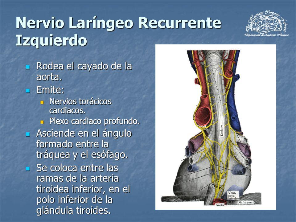 Nervio Laríngeo Recurrente Izquierdo Rodea el cayado de la aorta. Rodea el cayado de la aorta. Emite: Emite: Nervios torácicos cardiacos. Nervios torá