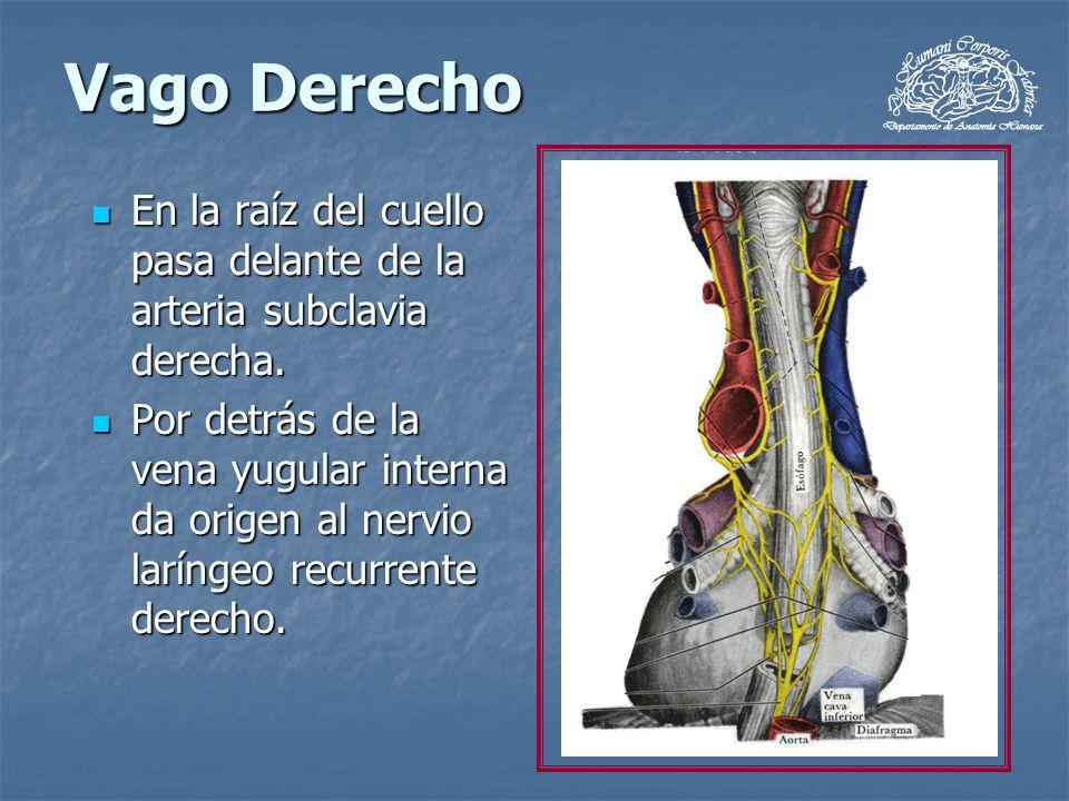 Vago Derecho En la raíz del cuello pasa delante de la arteria subclavia derecha. En la raíz del cuello pasa delante de la arteria subclavia derecha. P