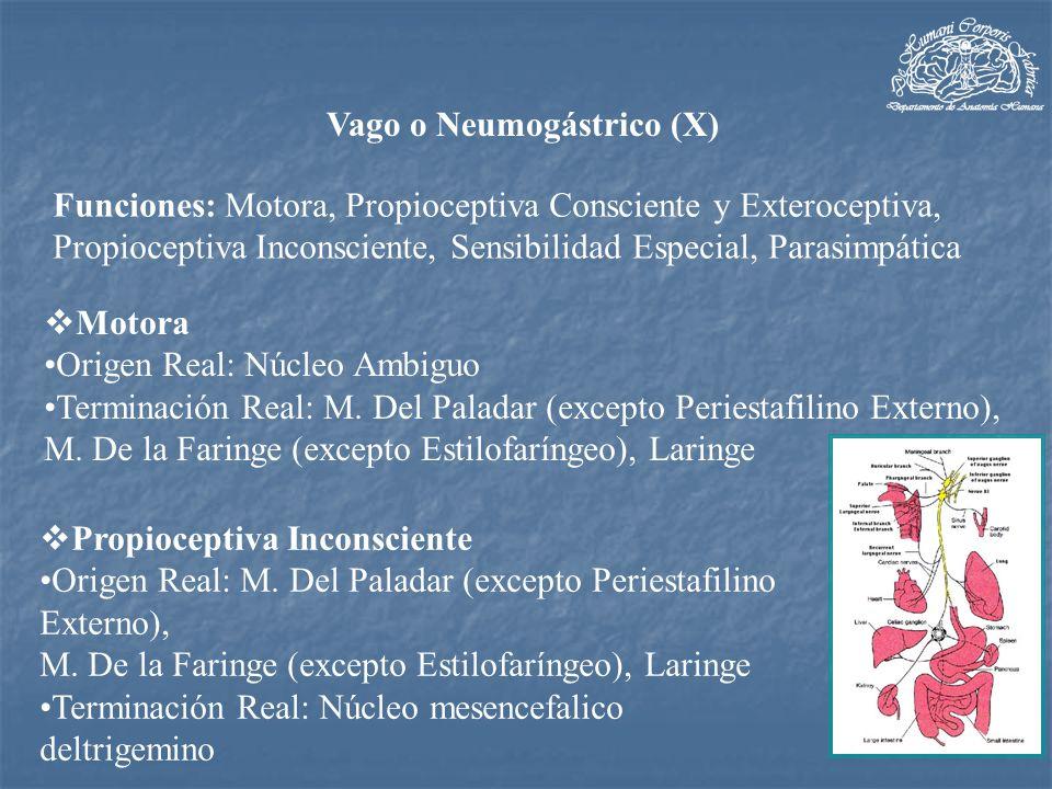 Parasimpático Origen Real: Núcleo Dorsal del Vago Terminación Real: Ganglios Viscerales y Previscerales de los aparatos Respiratorio, Digestivo y Cardiovascular.