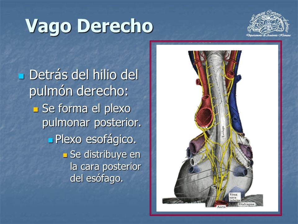 Vago Derecho Detrás del hilio del pulmón derecho: Detrás del hilio del pulmón derecho: Se forma el plexo pulmonar posterior. Se forma el plexo pulmona