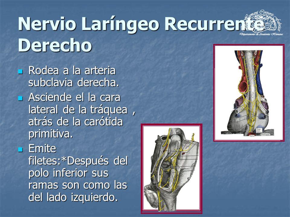 Nervio Laríngeo Recurrente Derecho Rodea a la arteria subclavia derecha. Rodea a la arteria subclavia derecha. Asciende el la cara lateral de la tráqu