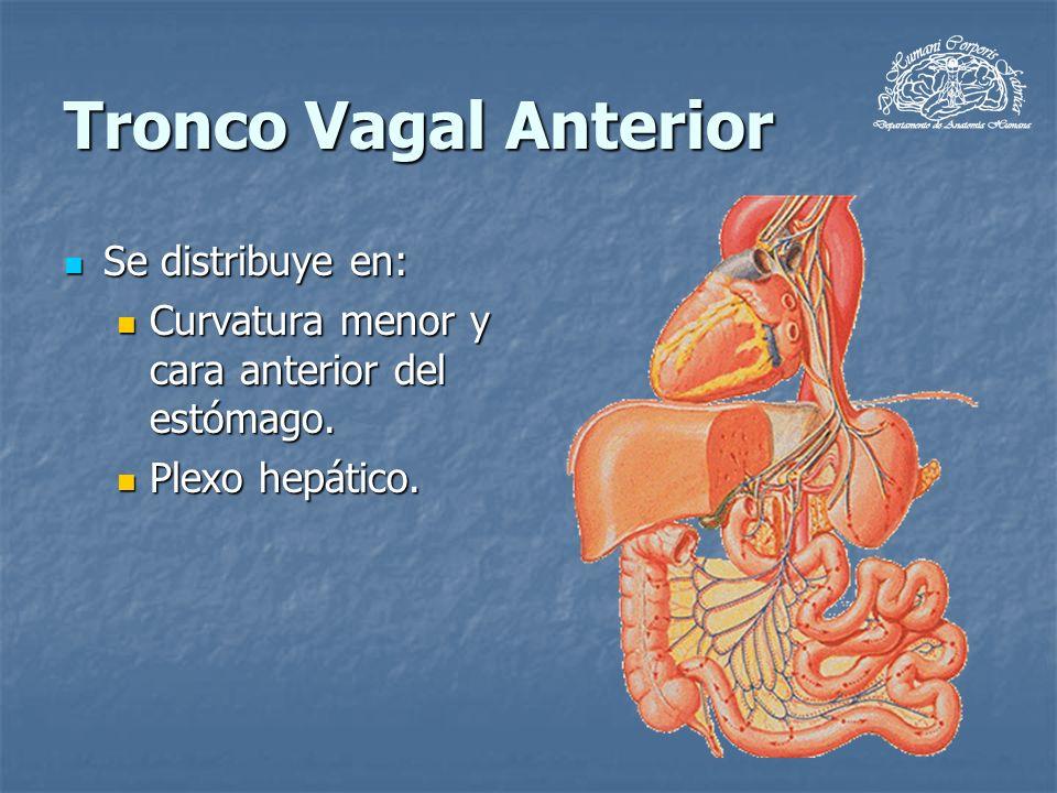 Tronco Vagal Anterior Se distribuye en: Se distribuye en: Curvatura menor y cara anterior del estómago. Curvatura menor y cara anterior del estómago.