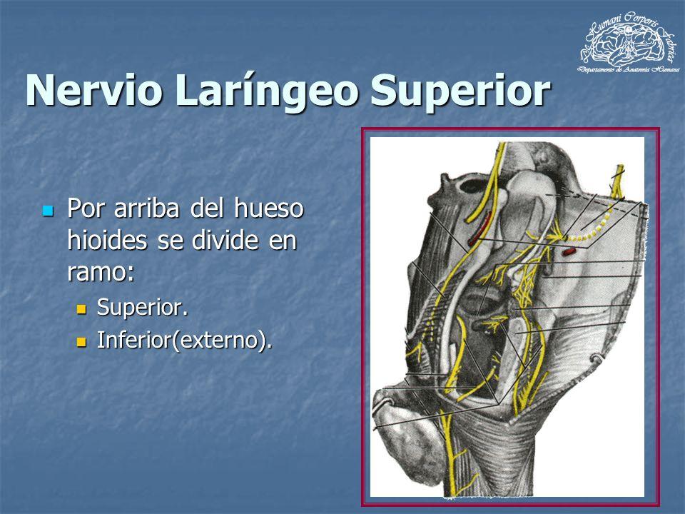 Nervio Laríngeo Superior Por arriba del hueso hioides se divide en ramo: Por arriba del hueso hioides se divide en ramo: Superior. Superior. Inferior(