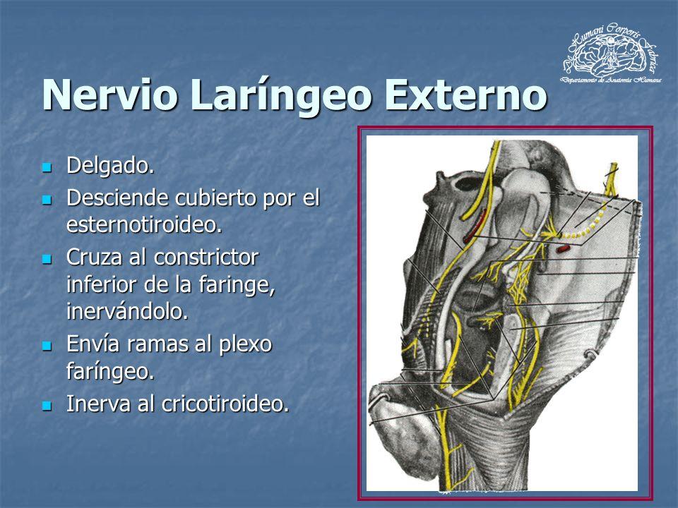 Nervio Laríngeo Externo Delgado. Delgado. Desciende cubierto por el esternotiroideo. Desciende cubierto por el esternotiroideo. Cruza al constrictor i