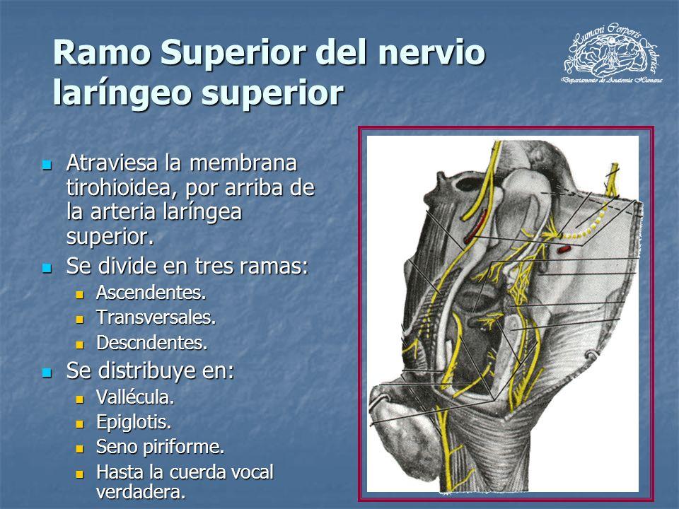 Ramo Superior del nervio laríngeo superior Atraviesa la membrana tirohioidea, por arriba de la arteria laríngea superior. Atraviesa la membrana tirohi