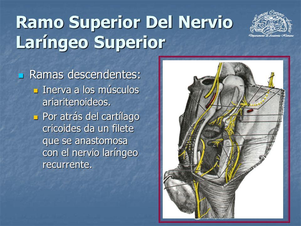 Ramo Superior Del Nervio Laríngeo Superior Ramas descendentes: Ramas descendentes: Inerva a los músculos ariaritenoideos. Inerva a los músculos ariari