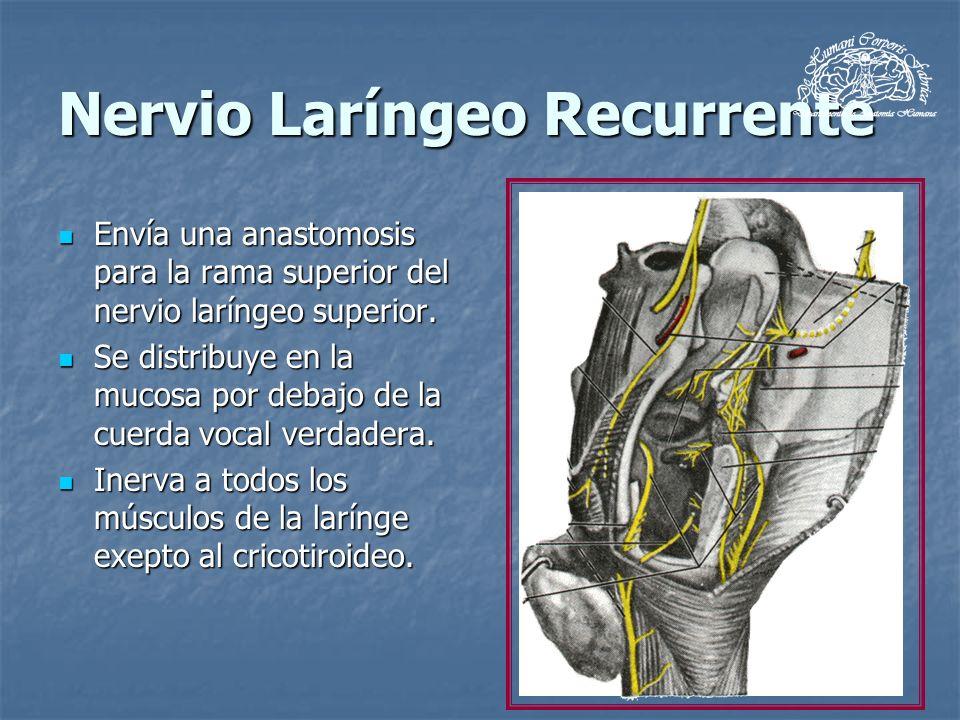 Nervio Laríngeo Recurrente Envía una anastomosis para la rama superior del nervio laríngeo superior. Envía una anastomosis para la rama superior del n