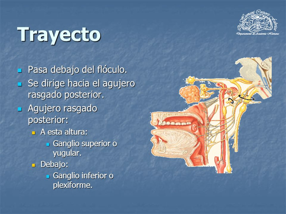 Trayecto Pasa debajo del flóculo. Pasa debajo del flóculo. Se dirige hacia el agujero rasgado posterior. Se dirige hacia el agujero rasgado posterior.