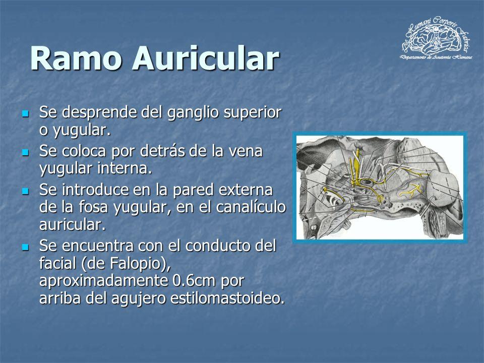 Ramo Auricular Se desprende del ganglio superior o yugular. Se desprende del ganglio superior o yugular. Se coloca por detrás de la vena yugular inter