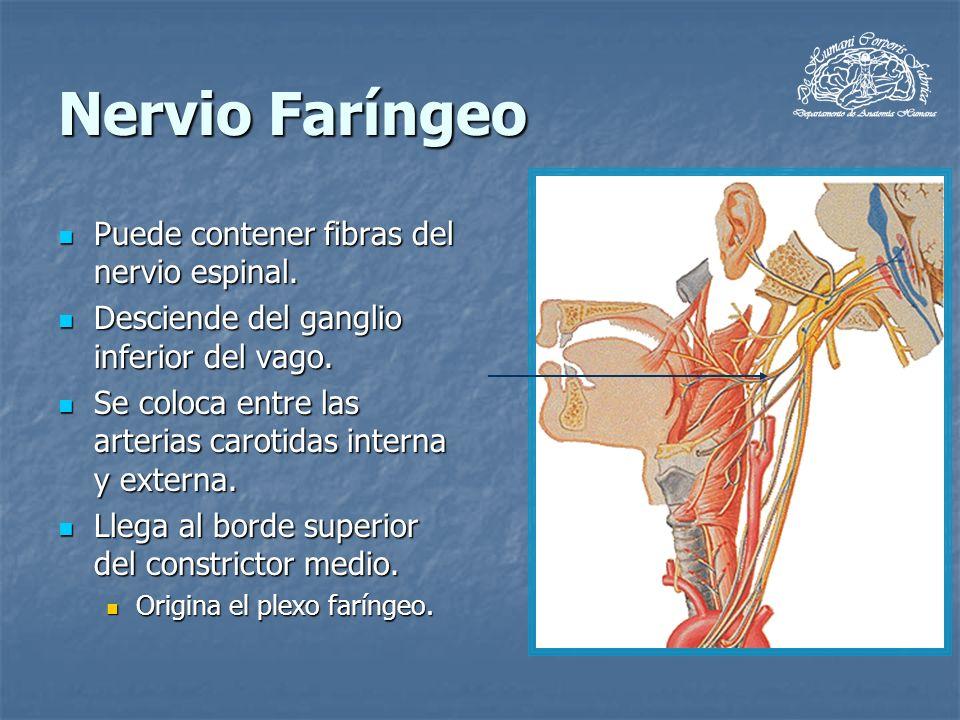 Nervio Faríngeo Puede contener fibras del nervio espinal. Puede contener fibras del nervio espinal. Desciende del ganglio inferior del vago. Desciende