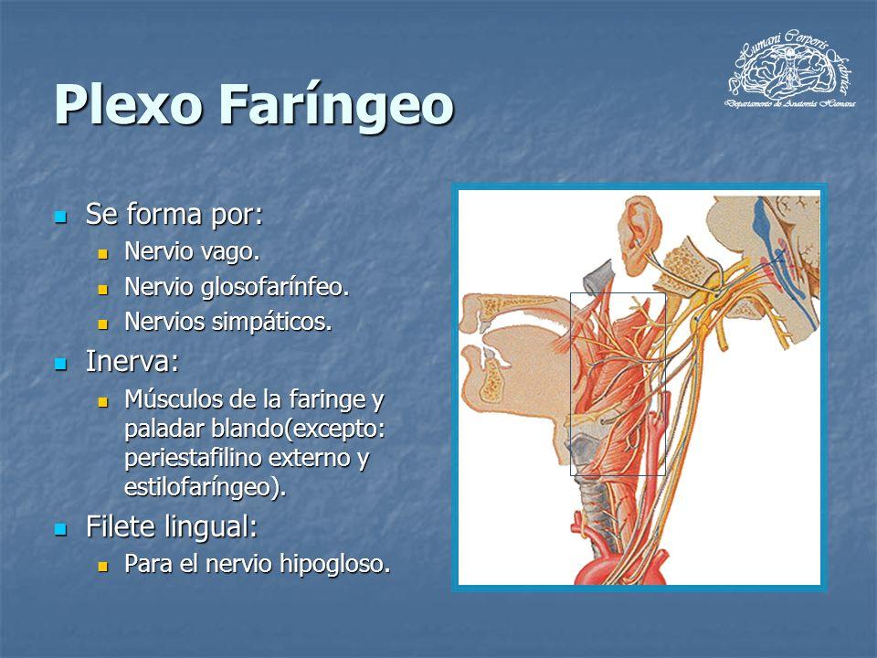 Plexo Faríngeo Se forma por: Se forma por: Nervio vago. Nervio vago. Nervio glosofarínfeo. Nervio glosofarínfeo. Nervios simpáticos. Nervios simpático