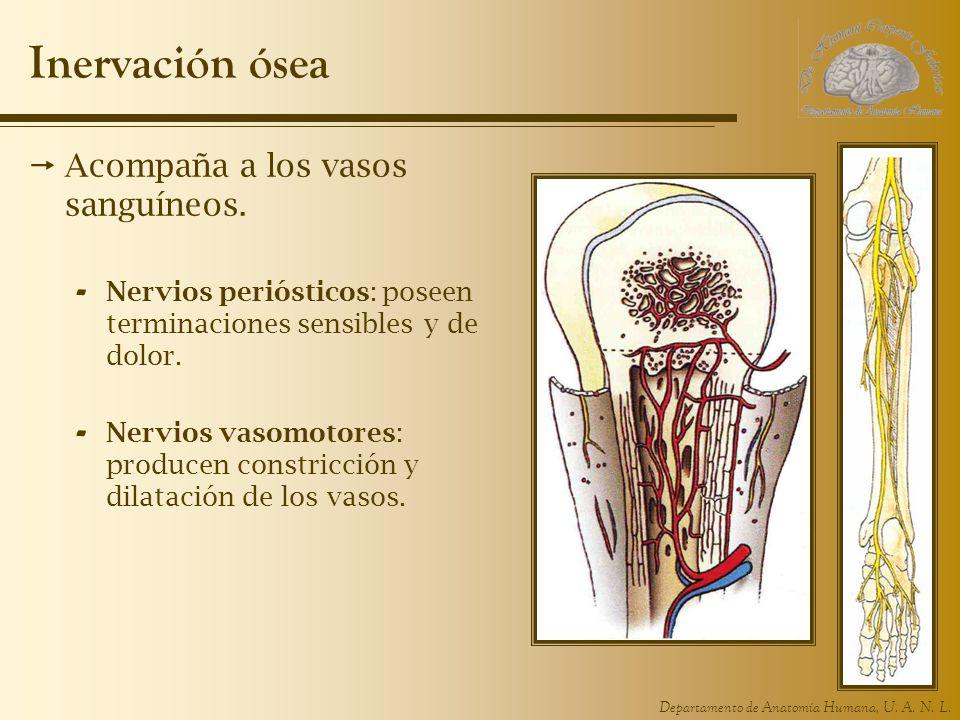 Departamento de Anatomía Humana, U. A. N. L. Inervación ósea Acompaña a los vasos sanguíneos.