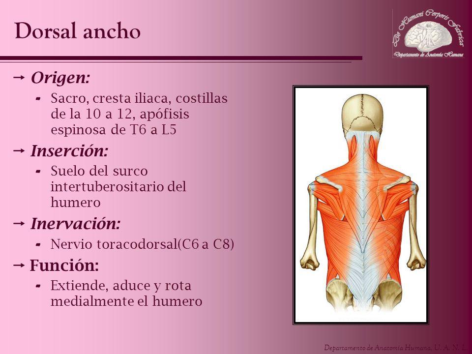 Departamento de Anatomía Humana, U. A. N. L. Origen: - Sacro, cresta iliaca, costillas de la 10 a 12, apófisis espinosa de T6 a L5 Inserción: - Suelo