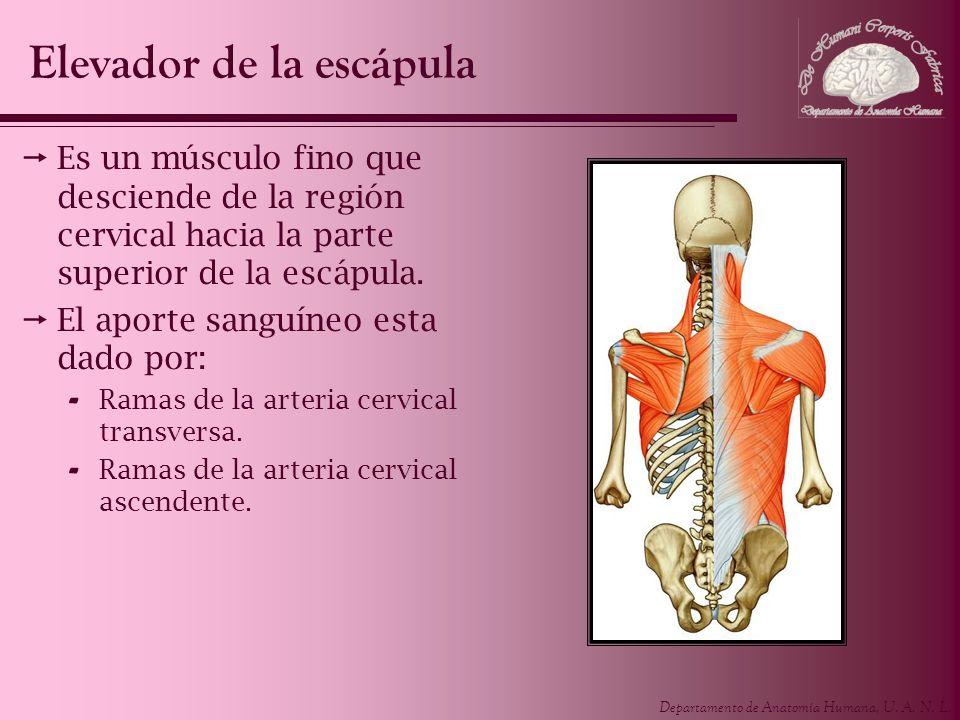Departamento de Anatomía Humana, U. A. N. L. Es un músculo fino que desciende de la región cervical hacia la parte superior de la escápula. El aporte