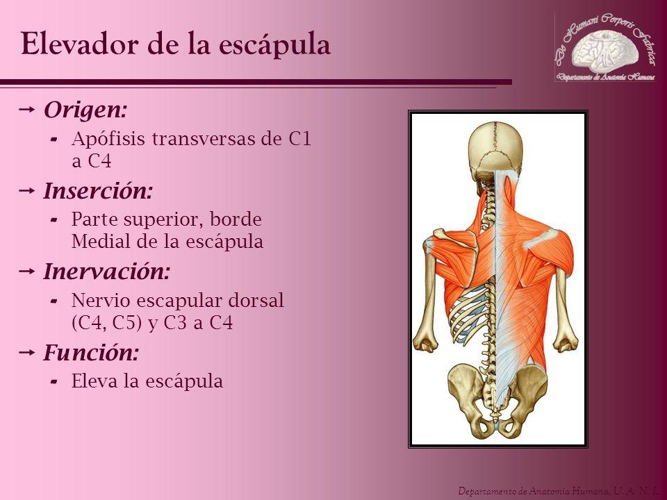 Departamento de Anatomía Humana, U. A. N. L. Origen: - Apófisis transversas de C1 a C4 Inserción: - Parte superior, borde Medial de la escápula Inerva