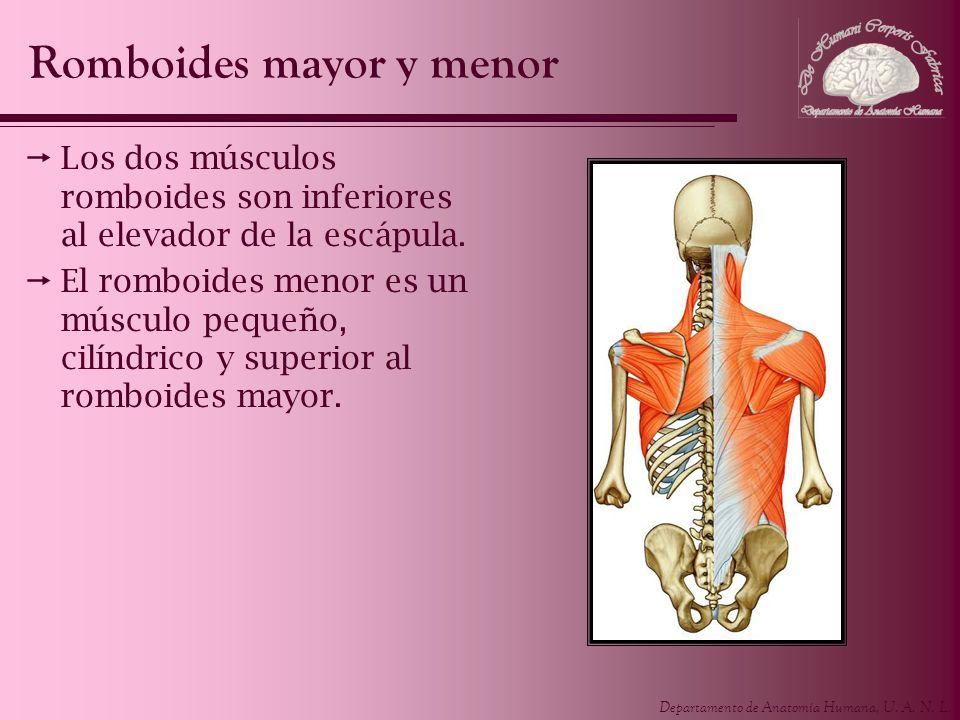Departamento de Anatomía Humana, U. A. N. L. Los dos músculos romboides son inferiores al elevador de la escápula. El romboides menor es un músculo pe