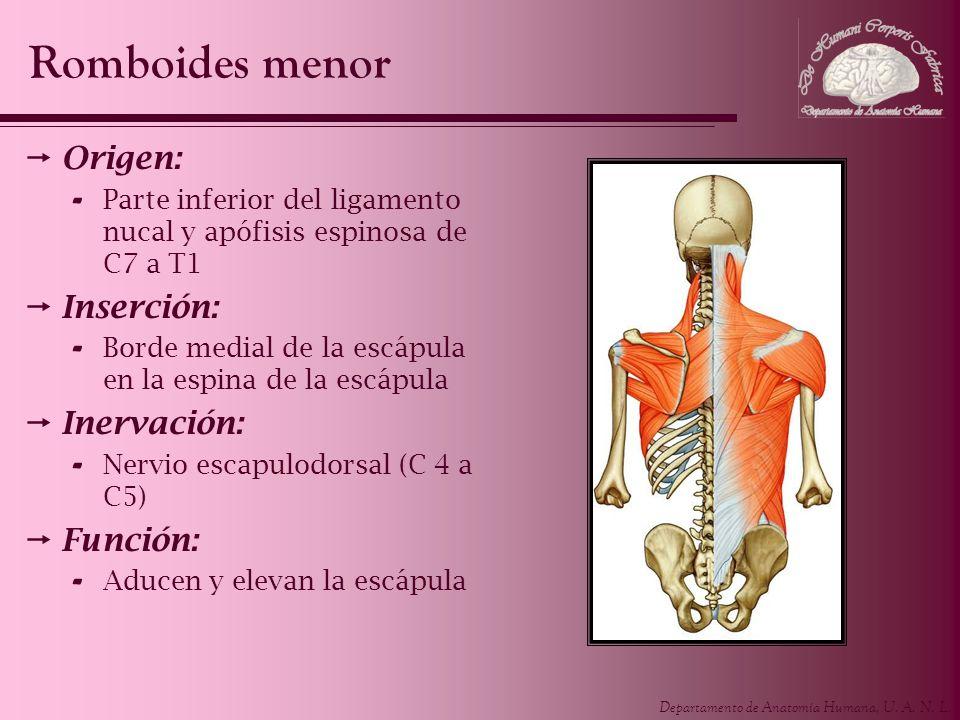 Departamento de Anatomía Humana, U. A. N. L. Origen: - Parte inferior del ligamento nucal y apófisis espinosa de C7 a T1 Inserción: - Borde medial de