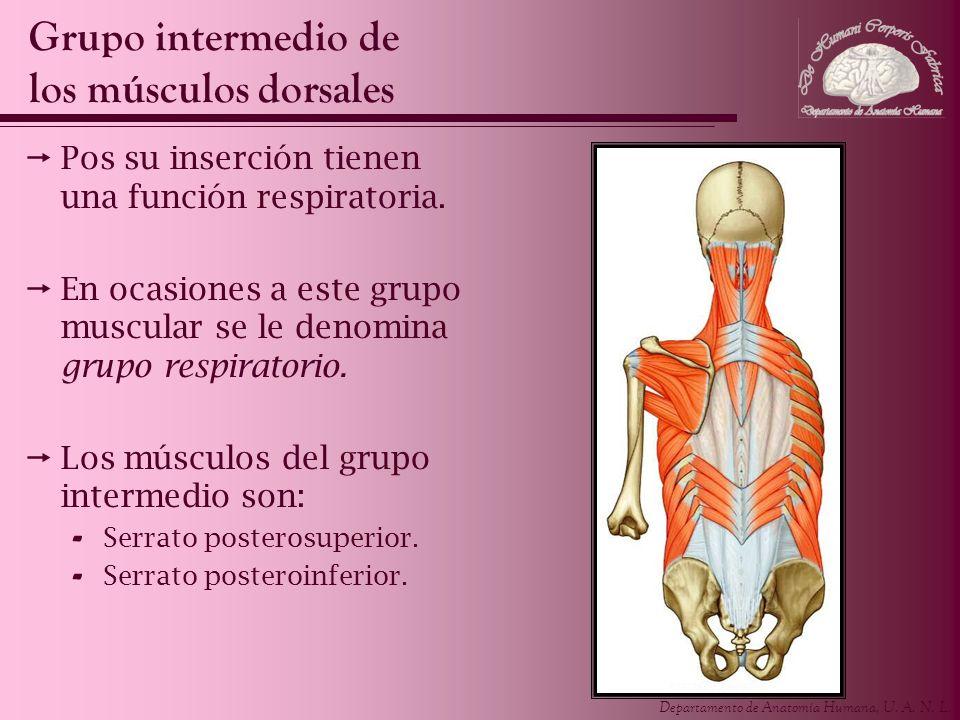 Departamento de Anatomía Humana, U. A. N. L. Pos su inserción tienen una función respiratoria. En ocasiones a este grupo muscular se le denomina grupo