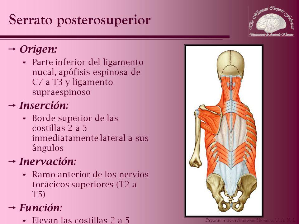 Departamento de Anatomía Humana, U. A. N. L. Origen: - Parte inferior del ligamento nucal, apófisis espinosa de C7 a T3 y ligamento supraespinoso Inse
