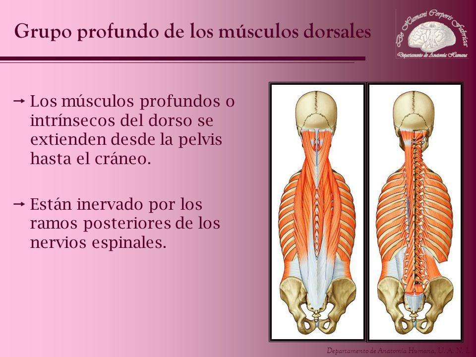 Departamento de Anatomía Humana, U. A. N. L. Los músculos profundos o intrínsecos del dorso se extienden desde la pelvis hasta el cráneo. Están inerva
