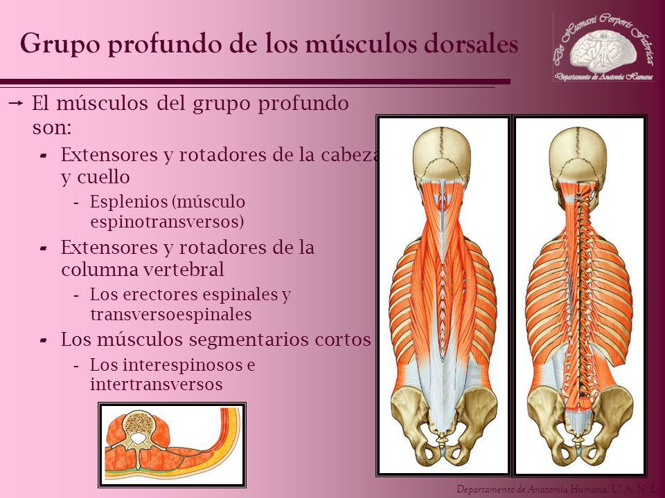 Departamento de Anatomía Humana, U. A. N. L. El músculos del grupo profundo son: - Extensores y rotadores de la cabeza y cuello -Esplenios (músculo es