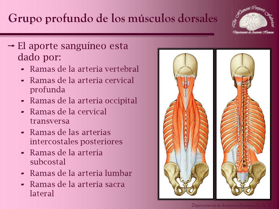 Departamento de Anatomía Humana, U. A. N. L. El aporte sanguíneo esta dado por: - Ramas de la arteria vertebral - Ramas de la arteria cervical profund