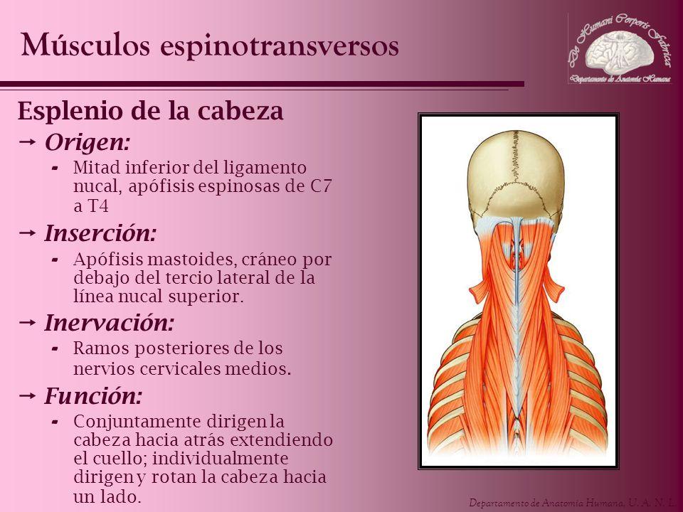 Departamento de Anatomía Humana, U. A. N. L. Esplenio de la cabeza Origen: - Mitad inferior del ligamento nucal, apófisis espinosas de C7 a T4 Inserci
