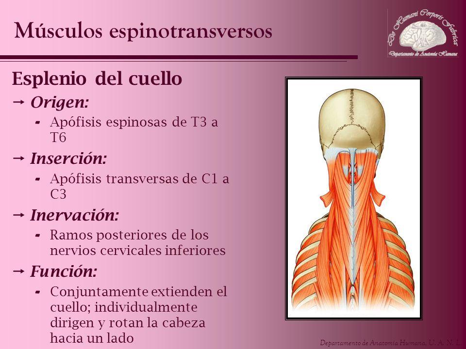 Departamento de Anatomía Humana, U. A. N. L. Esplenio del cuello Origen: - Apófisis espinosas de T3 a T6 Inserción: - Apófisis transversas de C1 a C3