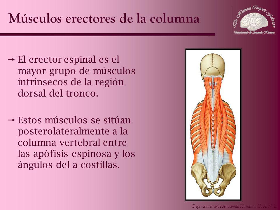 Departamento de Anatomía Humana, U. A. N. L. El erector espinal es el mayor grupo de músculos intrínsecos de la región dorsal del tronco. Estos múscul