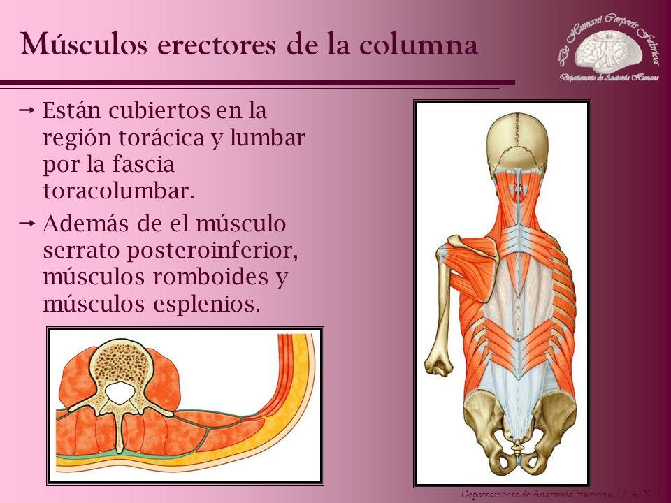 Departamento de Anatomía Humana, U. A. N. L. Están cubiertos en la región torácica y lumbar por la fascia toracolumbar. Además de el músculo serrato p