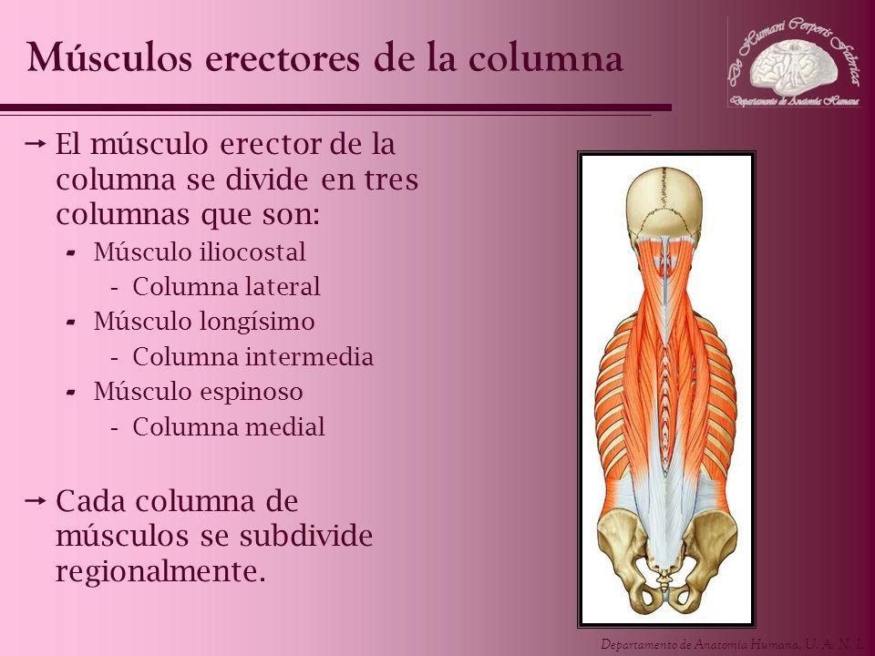 Departamento de Anatomía Humana, U. A. N. L. El músculo erector de la columna se divide en tres columnas que son: - Músculo iliocostal -Columna latera
