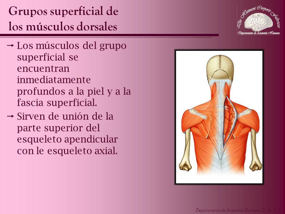 Departamento de Anatomía Humana, U. A. N. L. Los músculos del grupo superficial se encuentran inmediatamente profundos a la piel y a la fascia superfi