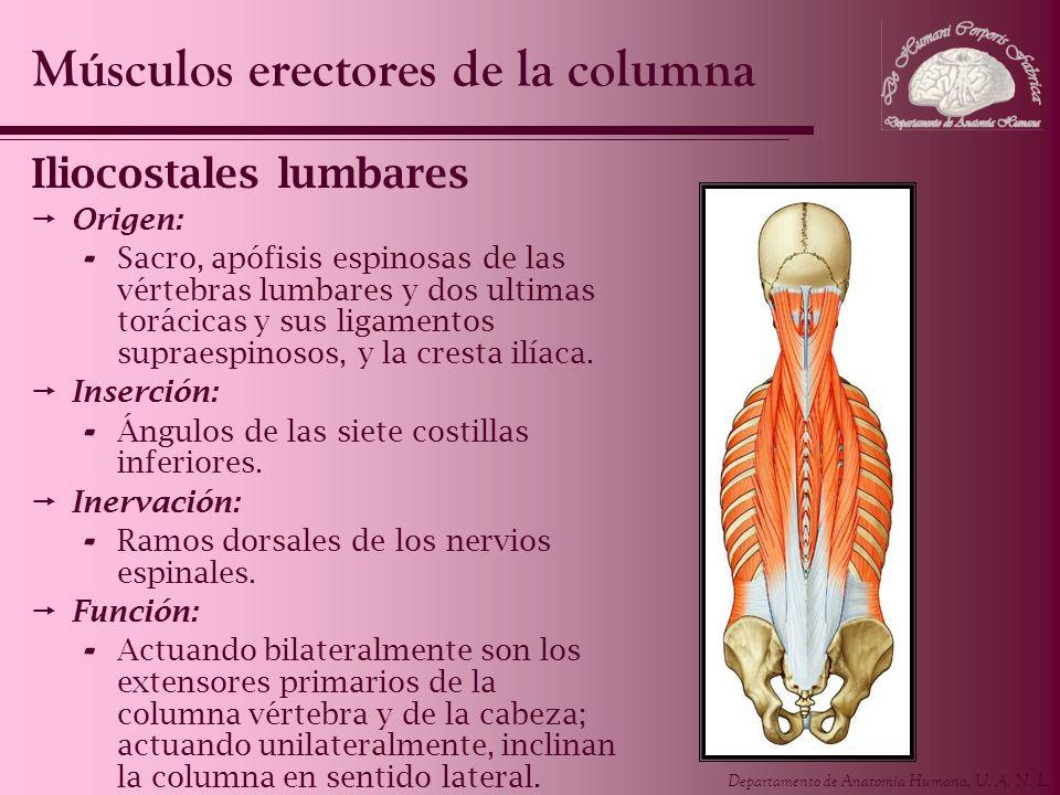 Departamento de Anatomía Humana, U. A. N. L. Iliocostales lumbares Origen: - Sacro, apófisis espinosas de las vértebras lumbares y dos ultimas torácic